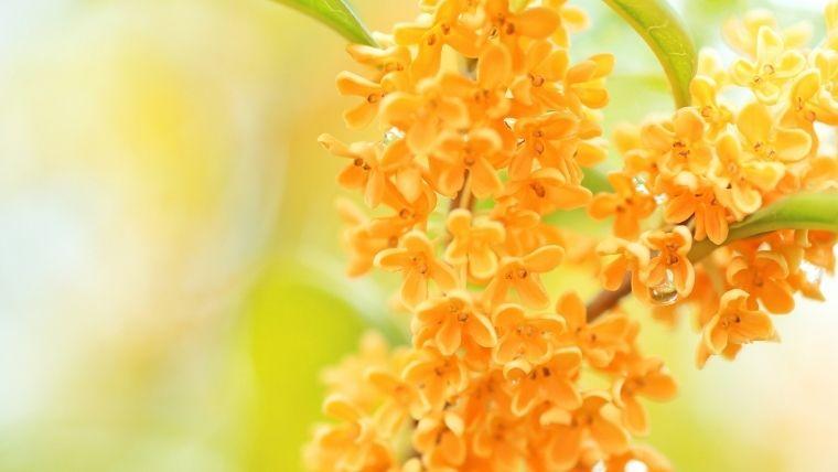 超いい匂い!金木犀の香りのコロン 練り香水は持続性高くコスパ抜群